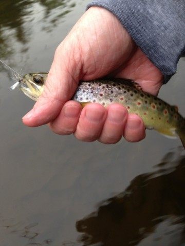 Another pretty brown from the Au Sable.